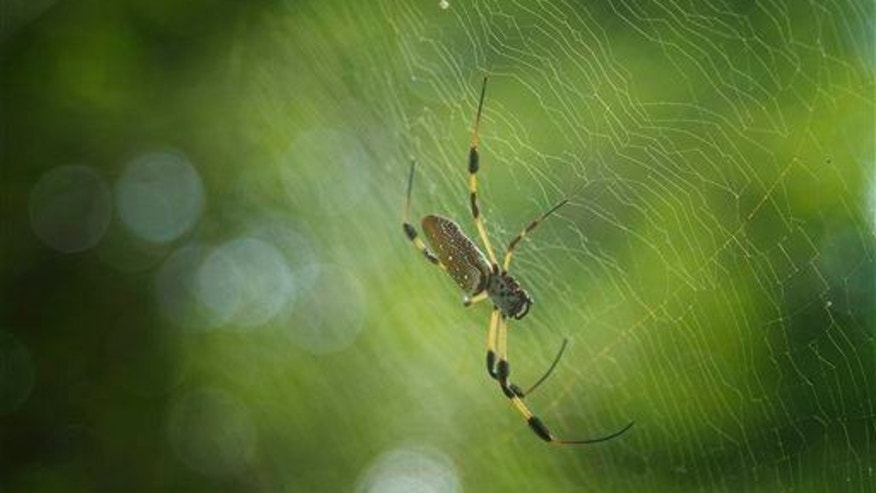 A spider weaves a web between tropical trees at Flamingo Gardens in Davie, Fla., Thursday, Aug. 30, 2012. It's not clear yet what type made its home in Dylan Thomas' body.
