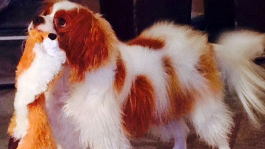 Oct. 22, 2014: This photo provided via Twitter by the City of Dallas and Dallas Animal Services shows Bentley, the King Charles Spaniel who was quarantined after his owner, Nina Pham, was diagnosed with Ebola, in Dallas.