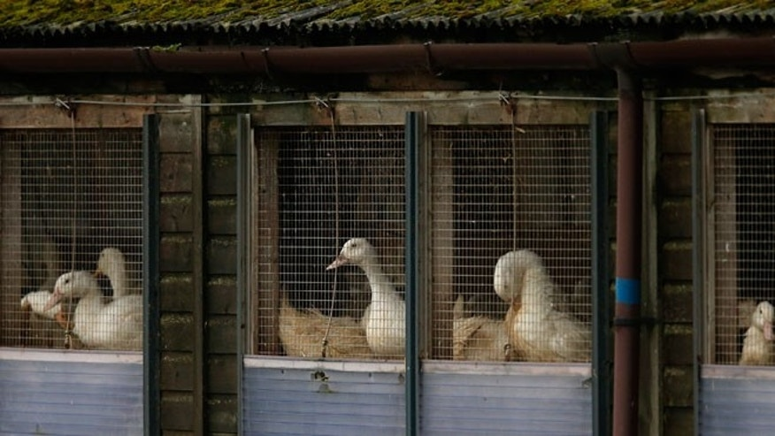 Ducks in cages are seen at a duck farm in Nafferton, northern England November 17, 2014. The European Commission on Monday praised the action taken by Britain and the Netherlands to contain their respective cases of bird flu, saying all protocols had been followed. In the British case, the virus was discovered at a duck farm in North Yorkshire.