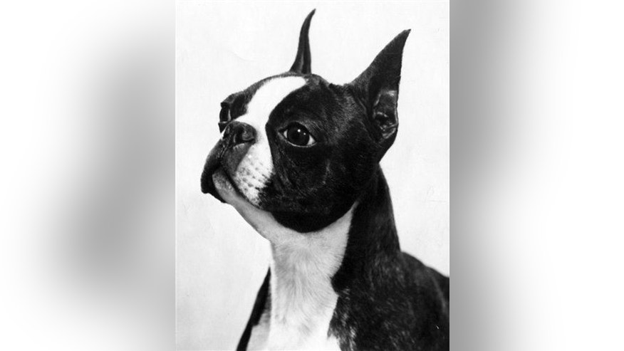 A stock photo of a Boston terrier.