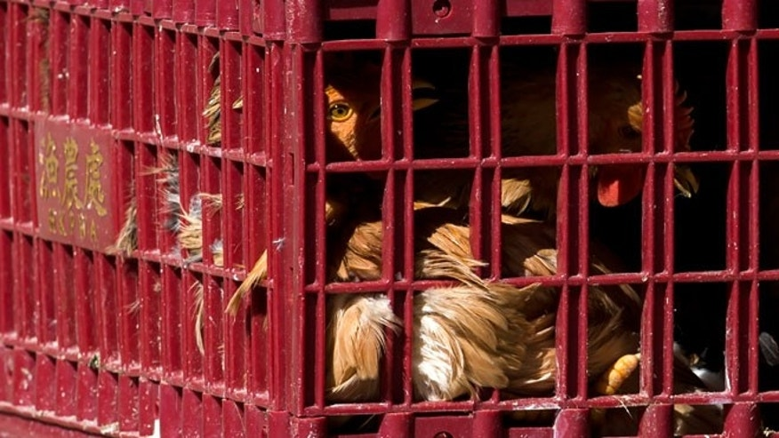 Chickens look out from a cage at a wholesale poultry market in Hong Kong December 31, 2014.