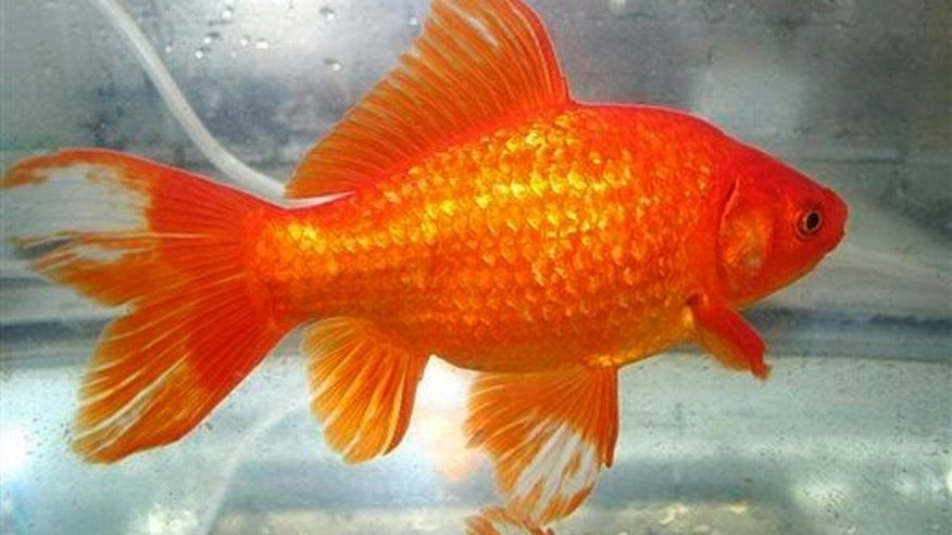 This isn't the goldfish patient, just a dead ringer.
