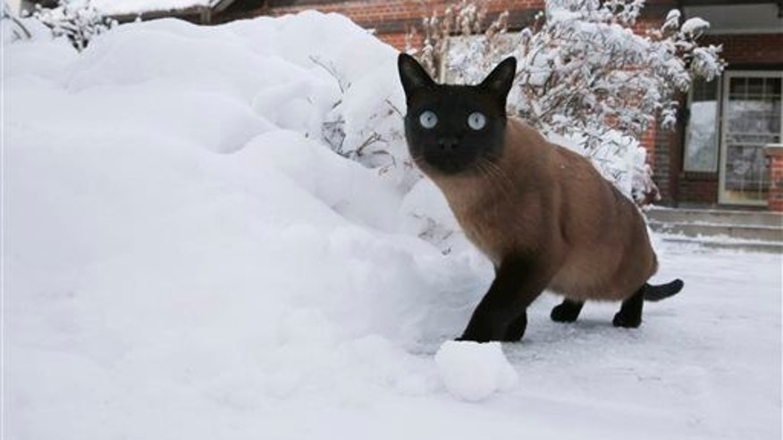 A three-year-old tom cat named Cato investigates the snow following a late winter storm Thursday, Feb. 26, 2015, in Denver.