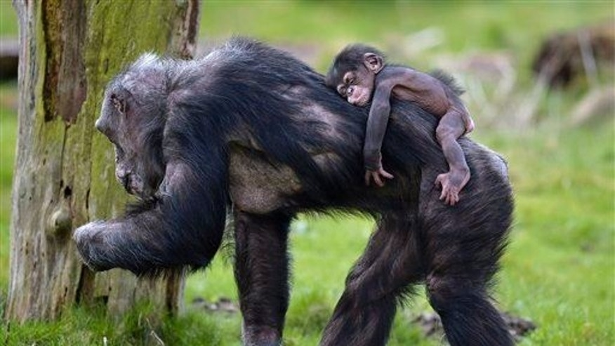 Baby chimpanzee Dayo sleeps on the back of its mother on a warm spring day at the zoo in Gelsenkirchen, Germany.
