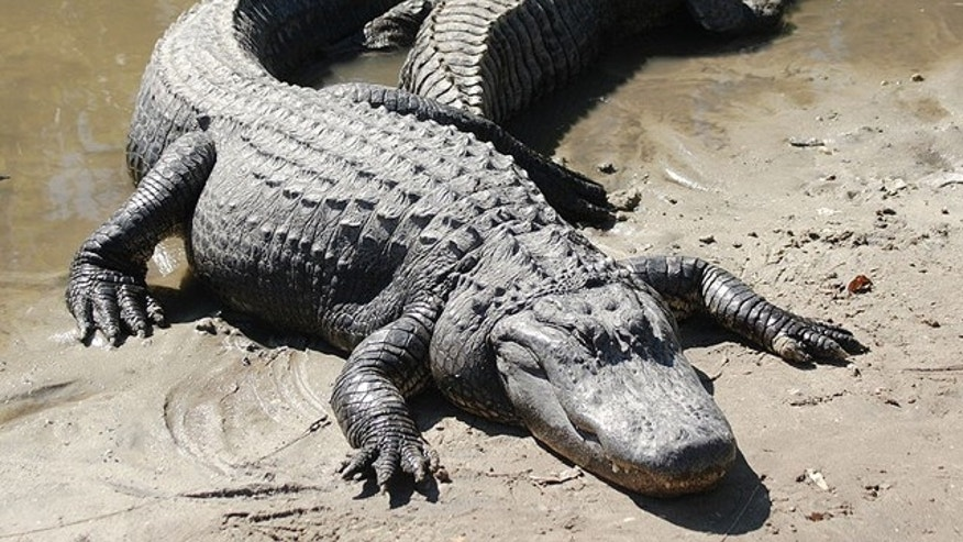 In 2007, an alligator at a Georgia gated community chewed up Gwyneth Williams' arms and foot. Her family members then proceeded to sue the community for damages.