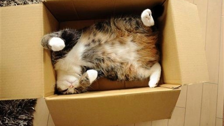Celebrity cat Maru rests in a cardboard box in Japan.