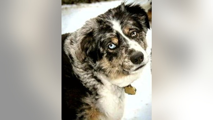 Hoss, a 5-year-old Australian shepherd in North Texas, has gone missing after helping his owner, Shadoh Campbell, beat cancer.