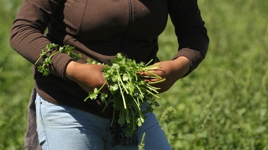 A migrant farm worker from Mexico harvests organic cilantro. (Photo by John Moore/Getty Images)