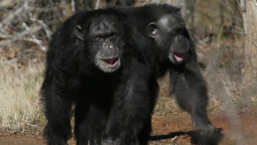 FILE - This Feb. 19, 2013 file photo shows two chimps walking together at Chimp Haven in Keithville, La.