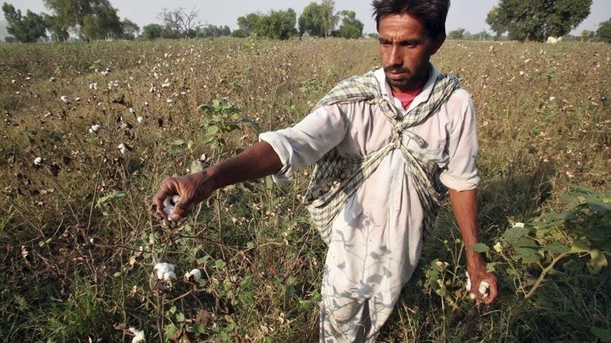Farmer Darshan Singh plucks cotton from his damaged Bt cotton field on the outskirts of Bhatinda in Punjab, India, in this October 28, 2015 file photo. REUTERS/Munish Sharma/Files