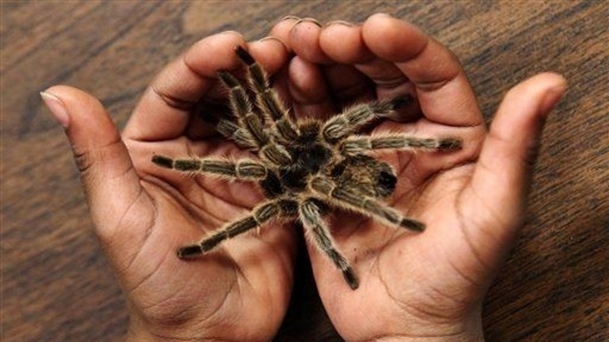 A second grader holds a tarantula in Tennessee, Friday, March 1, 2013.