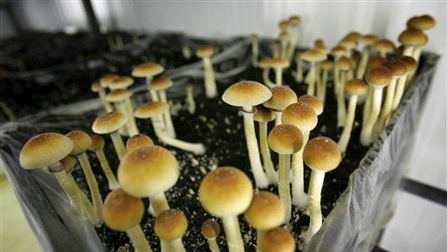 Magic mushrooms are seen in a grow room at the Procare farm in Hazerswoude, central Netherlands on this Aug. 3, 2007 file photo.