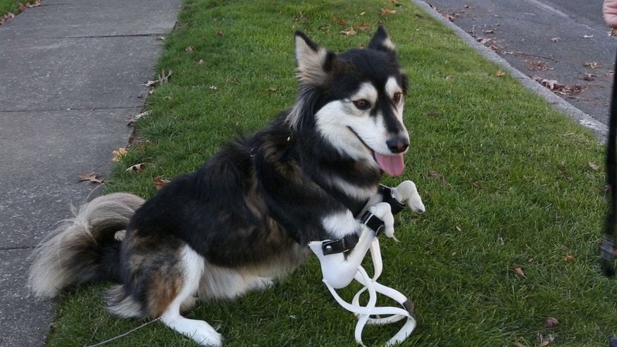 Derby, a 2-year-old husky mutt in New York, was born with partially formed paws. He received a prosthetic set of legs this year that allow him to walk and run like an ordinary dog.