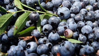 Blueberries are seen Tuesday, Aug. 7, 2007, in Union, Maine. A decade ago, about 20 percent of Maine's 60,000 acres of blueberry fields were harvested by mechanical means. Today, it's about 80 percent as growers discover that it's cheaper to replace hand pickers with more efficient machinery.    (AP Photo/Robert F. Bukaty)
