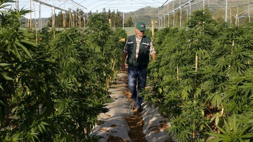 A man walks through a medicinal cannabis plantation, part of a project by Daya Foundation non-governmental organisation, in rural Quinamavida near Talca, Chile, January 18, 2016. REUTERS/Sebastian Martinez  EDITORIAL USE ONLY. NO RESALES. NO ARCHIVE