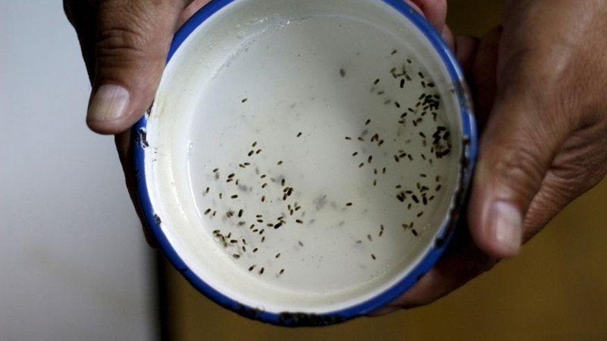 A public health technician shows the cultivated eggs of Aedes aegyti mosquitoes in a research area to help prevent the spread of Zika virus and other mosquito-borne diseases, at the entomology department of the Minister of Public Health, in Guatemala City, January 26, 2016. REUTERS/Josue Decavele