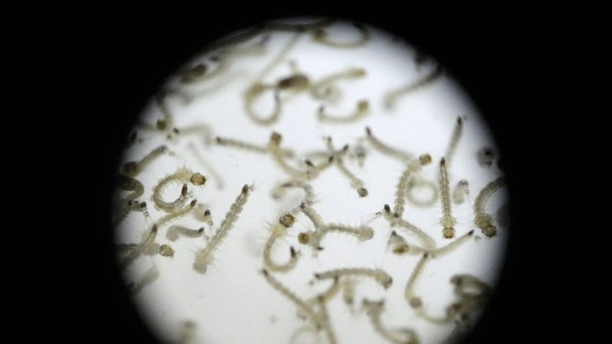 Larvae of Aedes aegypti mosquito is seen in a research area to help prevent the spread of Zika virus and other mosquito-borne diseases, at the entomology department of the Minister of Public Health, in Guatemala City, Guatemala January 28, 2016. REUTERS/Josue Decavele
