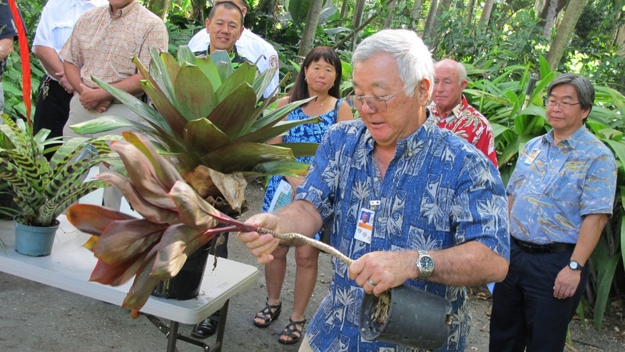 Nov. 30, 2015: Stan Oka, urban forestry administrator for the Honolulu Department of Parks and Recreation, tips a potted ti plant to demonstrate how people should remove standing water from around their homes in Honolulu.