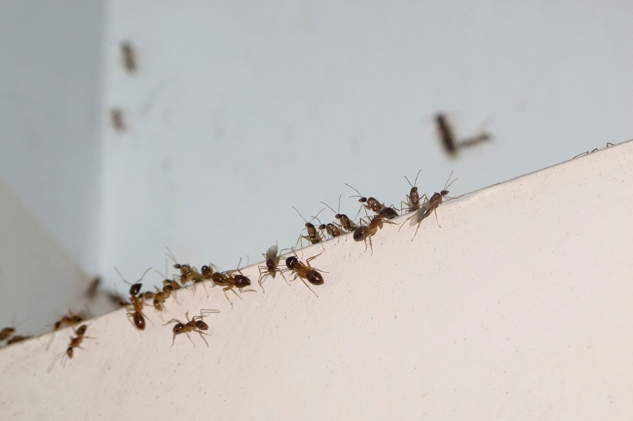 infestation of ants removed from girl 39 s ear fox news. Black Bedroom Furniture Sets. Home Design Ideas