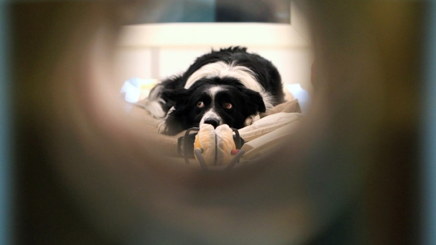 Maverick, a Border Collie, lies in a MRI scanner in a neurology clinic in Budapest