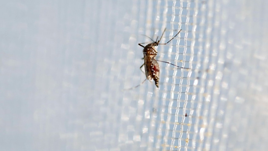 An aedes aegypti mosquitoes is seen in The Gorgas Memorial institute for Health Studies laboratory as they conduct a research on preventing the spread of the Zika virus and other mosquito-borne diseases in Panama City February 4, 2016. REUTERS/Carlos Jasso - RTX25IDW