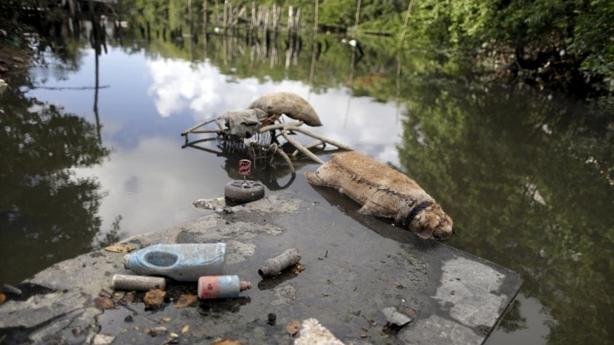 """The carcass of a dog lies near garbage in a lake near dwellings known as palafitte or """"Palafita"""" in Recife"""