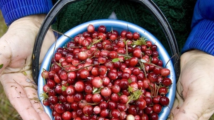 A Belarussian woman holds a bucket with cranberries in a marsh near the village of Borki