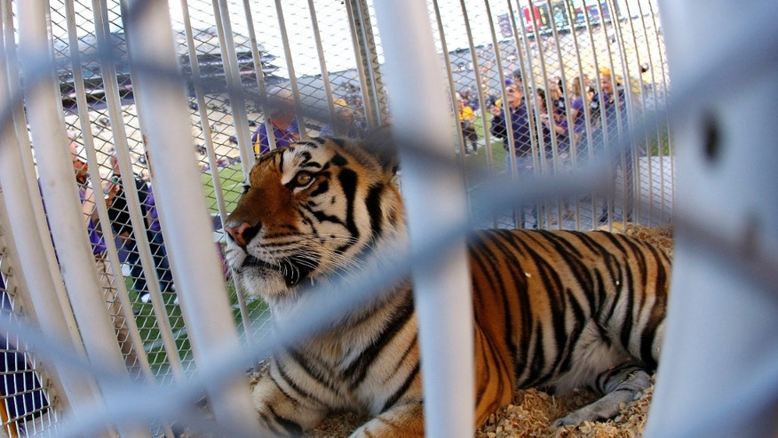 FILE - This Oct. 26, 2013, file photo, shows LSU's Mike the Tiger on the field before the NCAA college football game against Furman in Baton Rouge, La. Multiple animal rights groups are asking that the university stop using captive tigers as mascots Tuesday, May 24, after LSU said its mascot was diagnosed with a rare form of cancer. (AP Photo/Jonathan Bachman, File)