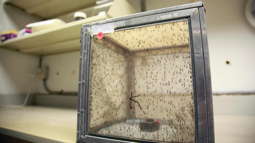 This June 2, 2016 photo shows a container of collected Culex breed of mosquitoes to be tested for various infectious diseases, at the Harris County Mosquito Control lab in Houston. Zika has been sweeping through Latin America and the Caribbean in recent months, and the fear is that it will get worse there and arrive in the U.S. with the onset of mosquito season this summer. (AP Photo/John Mone)