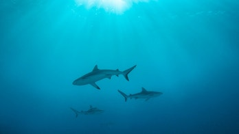 A group of sharks in Truk Lagoon