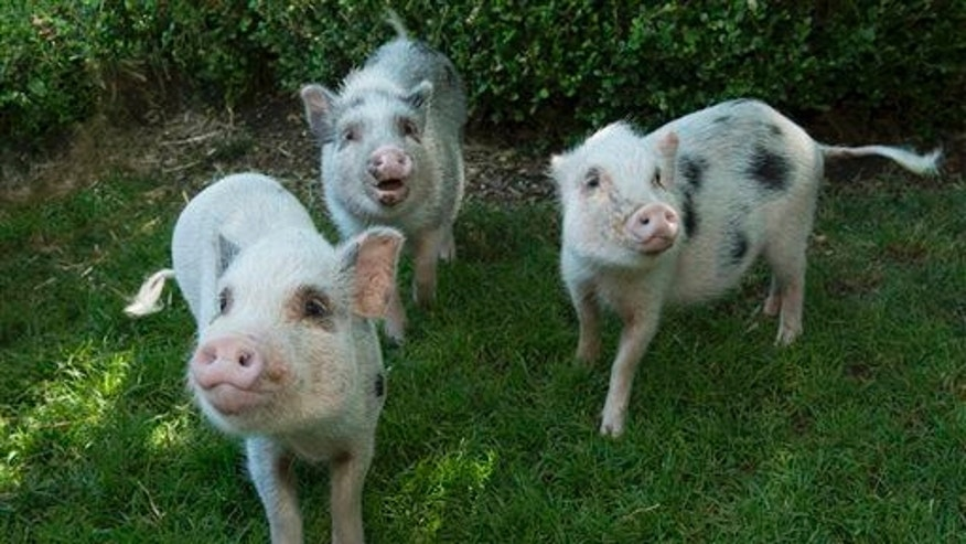 File photo of miniature pigs.