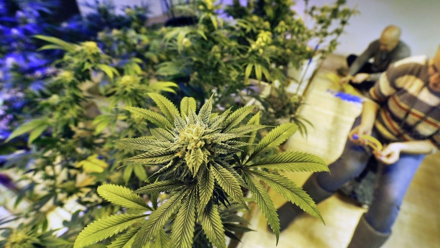 In this Dec. 31, 2013 file photo, employees tends to marijuana plants at a grow house in Denver.