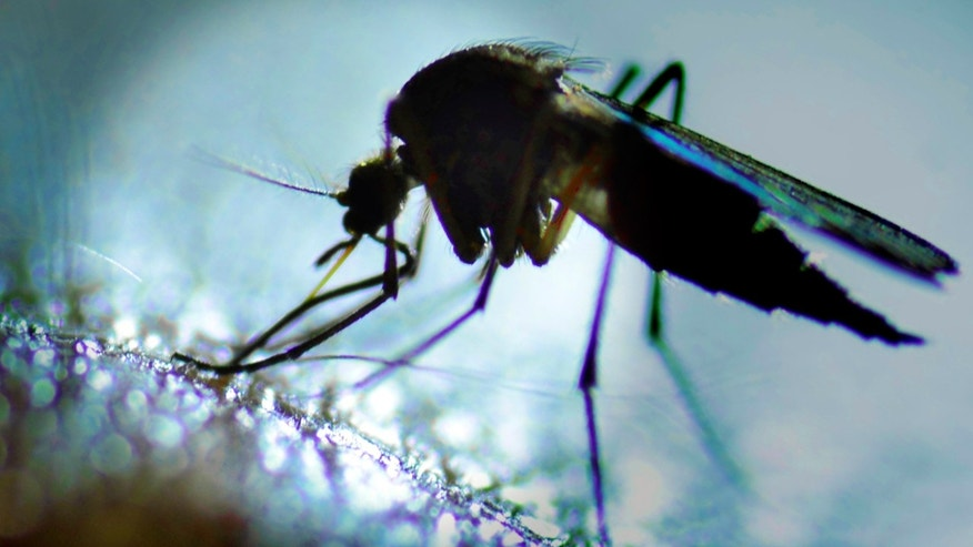 Research States That Genetically Modified Mosquitoes Cause No Threat