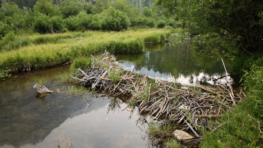 Image result for beaver dam