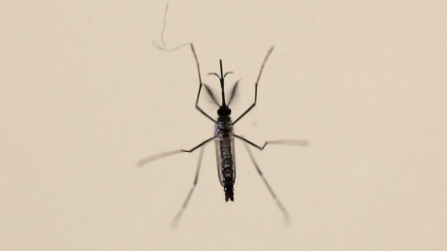 An Aedes aegypti mosquitoe is seen at the Laboratory of Entomology and Ecology of the Dengue Branch of the U.S. Centers for Disease Control and Prevention in San Juan