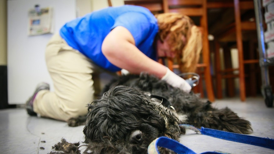 In this Friday, Aug. 12, 2016 photo, Dr. Sarah Nickel shaves all the fur off a cocker spaniel at the Monroe County Humane Association in Bloomington, Ind. The dog's hair was so matted that wounds had formed that were filled with maggots. (Jeremy Hogan/The Herald-Times via AP)