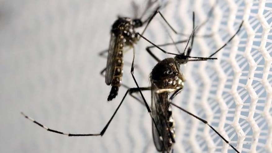 Aedes aegypti mosquitoes are seen inside Oxitec laboratory in Campinas, Brazil.
