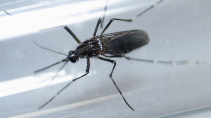 An Aedes aegypti mosquito is seen inside a test tube.