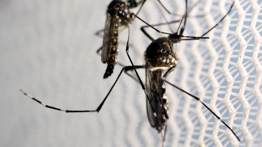 Aedes aegypti mosquitoes are seen inside Oxitec laboratory in Campinas, Brazil