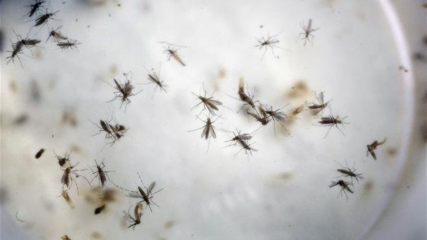 Mosquitoes are seen in a mosquito cage at a laboratory in Cucuta, Colombia.