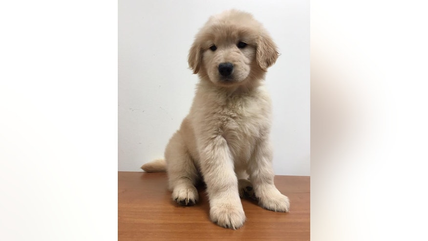 Dorie, a 3-month-old golden retriever, was reportedly stolen from a service dog training facility in Miltion, Georgia, in early September. As of Sept. 12, her owners were offering a $3,500 reward to anyone who can provide information on her whereabouts.