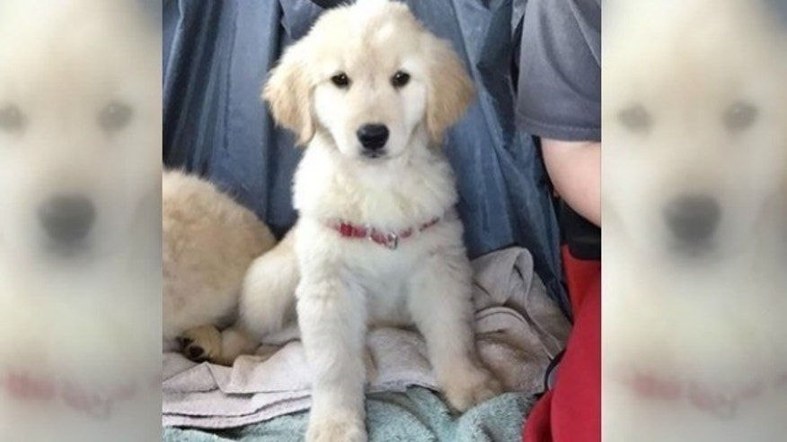 Golden Retriever Puppy Stolen From Service Dog Training