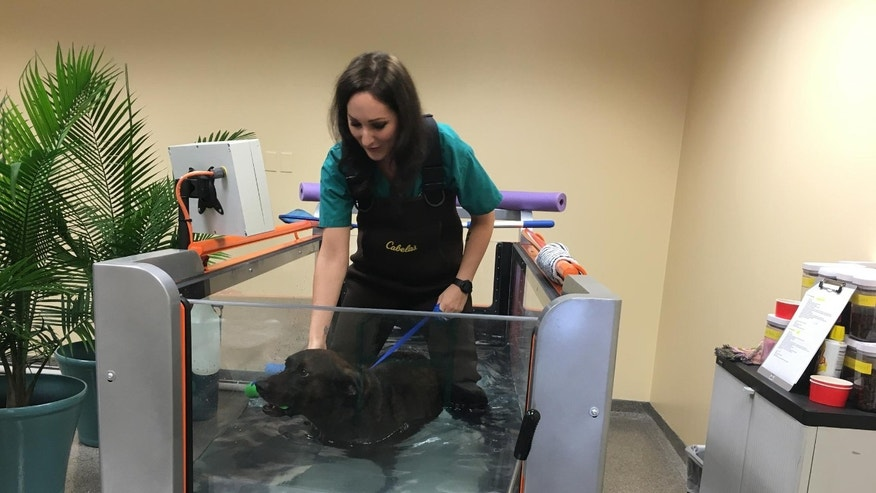 Rehab technician Erica Seils helps Max, who suffers from arthritis, walk on an underwater treadmill. Photography by Cindy Kuzma.