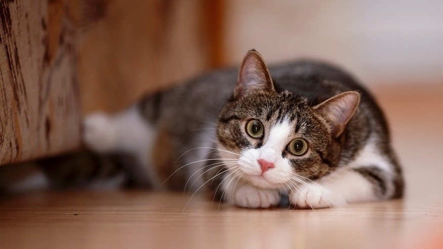 cat-scratch disease cases getting more serious | fox news, Skeleton