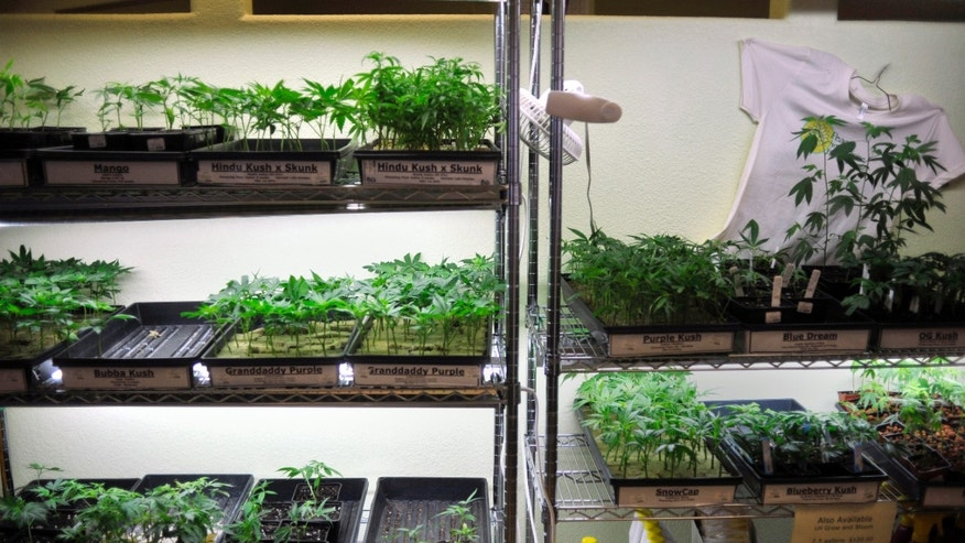 Oct. 29, 2009: This file photo shows trays of marijuana clones and gardening supplies underneath grow lights.