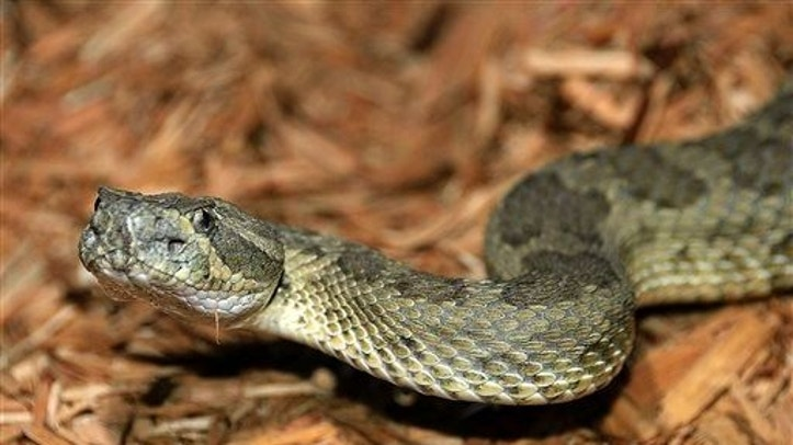 A new study shows snakes lost their limbs to burrow in the ground, not to swim in the sea.