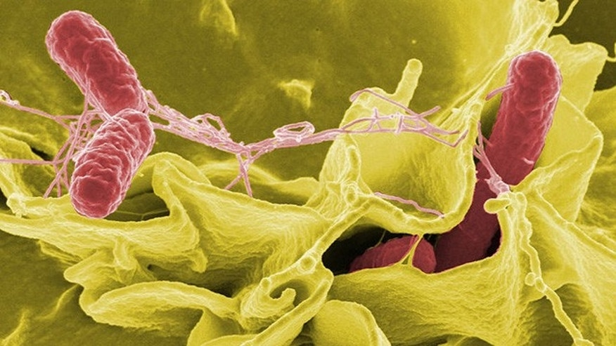 Color-enhanced scanning electron micrograph showing Salmonella typhimurium (red) invading cultured human cells.