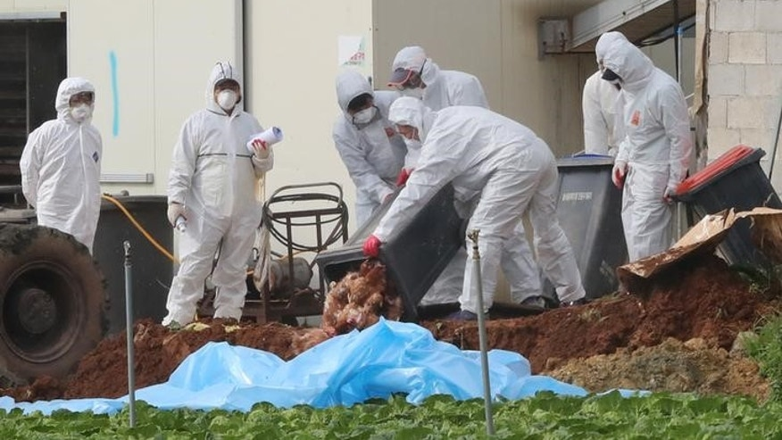 South Korean health officials bury chickens at a poultry farm where the highly pathogenic H5N6 bird flu virus broke out in Haenam