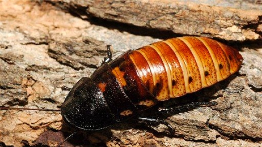In this 2005 photo released by the Wildlife Conservation Society, a Madagascar hissing cockroach (not the roach in question) crawls on some bark at the Bronx Zoo in New York.