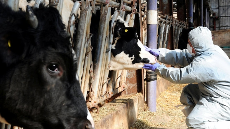 A health officer checks a cattle in a farm in Gimje as a preventive measure against foot-and-mouth disease